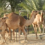 Camels in the desert, Dubai